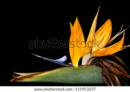 Bird of paradise flower against a black background.