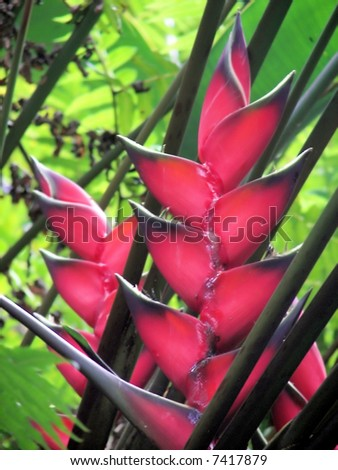 bird of paradise flower blooms in hawaii jungle - stock photo