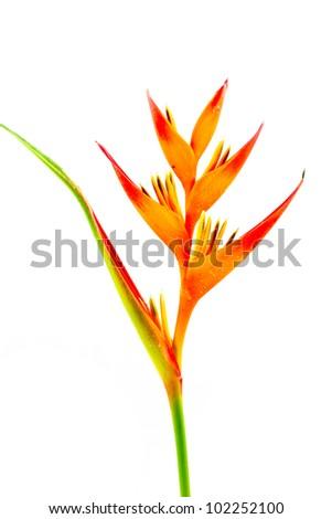 Bird of Paradise flower  on white background. - stock photo