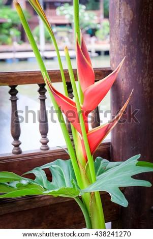 bird of paradise flower,Strelitzia Reginae flower closeup,Madeira island - stock photo