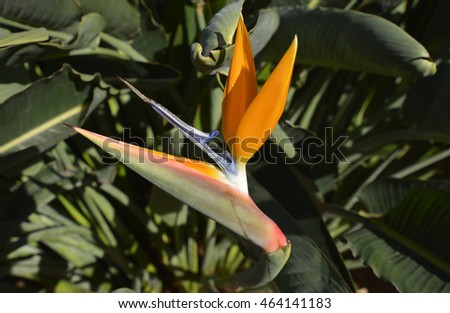 Bird of Paradise flower (Strelitzia reginae) in Madeira, Portugal