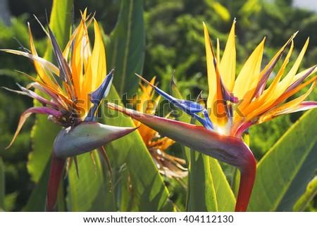 bird of paradise flower (strelitzia reginae)  is a monocotyledonous flowering plant indigenous to South Africa - stock photo