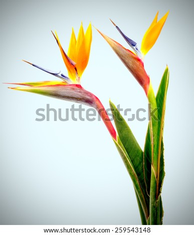 Bird of Paradise Flowers - stock photo