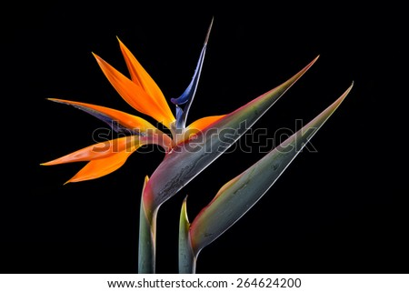 Bird of paradise flowers isolate on black  - stock photo