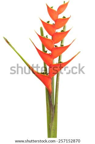 bird of paradise flowers isolated on a white background - stock photo