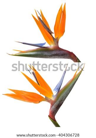 Bird of Paradise flowers isolated over white - stock photo