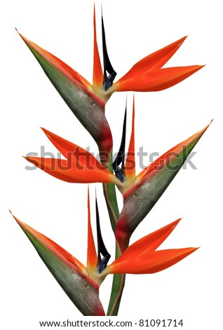 bird of paradise flowers on a white background - stock photo