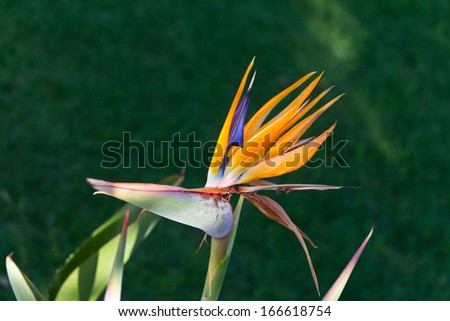Bird of Paradise Flowers , Strelitzia - stock photo
