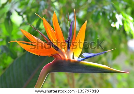 Bird of paradise flowers (Strelitzia) on natural green. This flower is a symbol of Madeira island. - stock photo