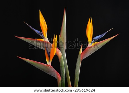 Bird of paradise flowers without leaves isolated on black - stock photo