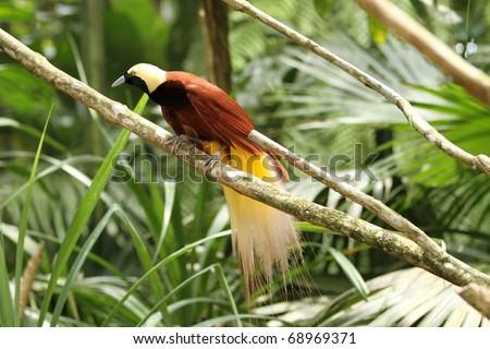 Bird-of-paradise in the jungle - stock photo