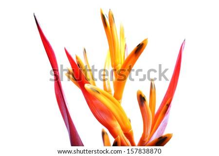 bird of paradise isolated on white background - stock photo