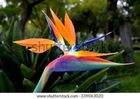 Bird of paradise Latin name Strelitzia reginae - stock photo