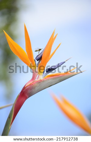 Bird of Paradise Plant in Full Seasonal Bloom and a flying wasp - stock photo