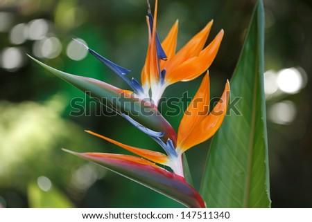 Bird of Paradise/ Strelitzia  exotic tropical flower. Hawaii, Maui, USA - stock photo
