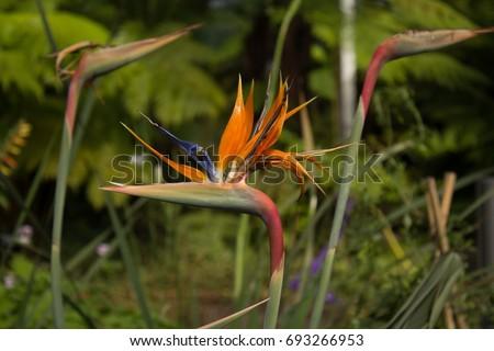 Bird of Paradise (StrelitziaReginae) Flower in Bloom
