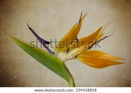 Bird of paradise tropical flower on old vintage paper textured background; Old paper with floral pattern