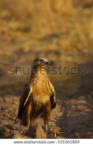 Bird of prey buzzard  On yellow soil and dry grass background bird: Long-legged Buzzard / Buteo rufinus