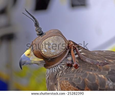 Bird of prey. Falconry. - stock photo