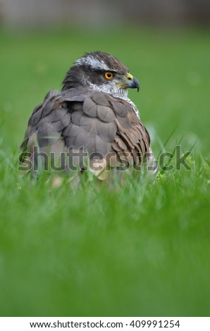 bird of prey Goshawk (Accipiter gentilis) - stock photo