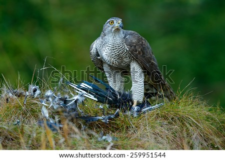 Bird of prey Goshawk kill Eurasian Magpie on the grass in green forest - stock photo