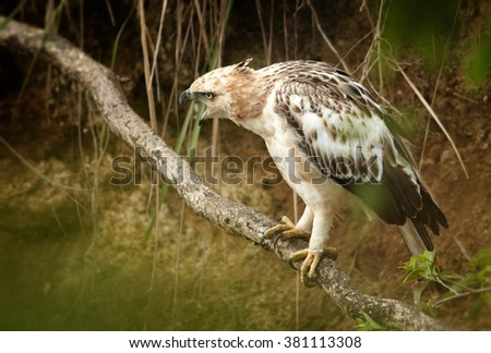 Bird of prey, light form of Changeable Hawk-eagle, Spizaetus cirrhatus ceylanensis  perched on root in creek bed near to kingfishers nest to prey on it. Close up photo of medium-large asian raptor.  - stock photo