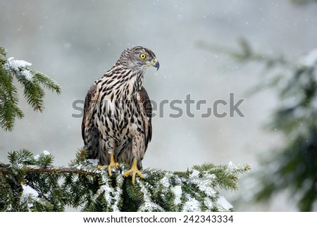 Bird of prey Northern Goshawk sitting oh the spruce branch with snow flake during winter  - stock photo