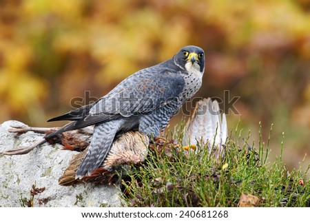 Bird of prey Peregrine Falcon feeding kill pheasant on the rock with yellow autumn background in the background - stock photo