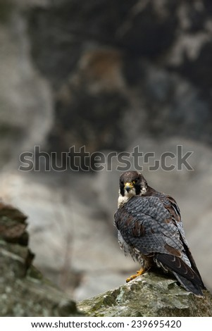 Bird of prey Peregrine Falcon sitting on the stone in the rock - stock photo
