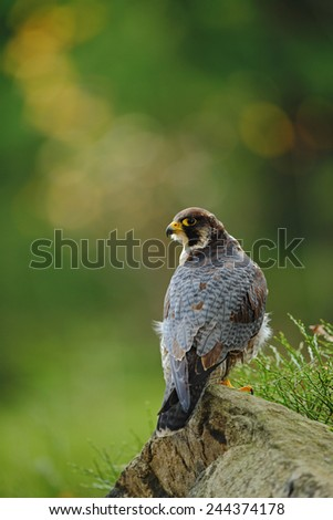 Bird of prey Peregrine Falcon sitting on the stone with green and yellow forest background  - stock photo
