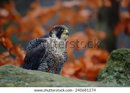 Bird of prey Peregrine Falcon sitting on the stone with orange autumn forest in background - stock photo