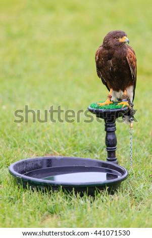 Bird of prey, raptor on the stand with water. Green field background. Selective focus. - stock photo