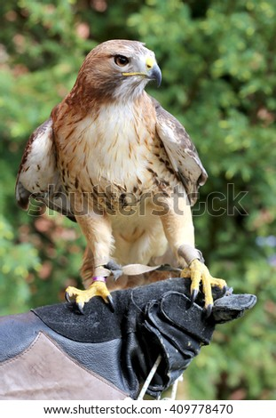 Bird of prey red-tailed hawk known in the United States as chickenhawk. American chickenhawk perched on gloved hand - stock photo