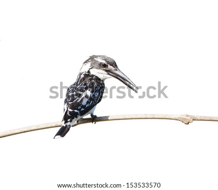 Bird on a branch (Pied Kingfisher - Ceryle rudis) isolated on white background, in nature, in Thailand - stock photo