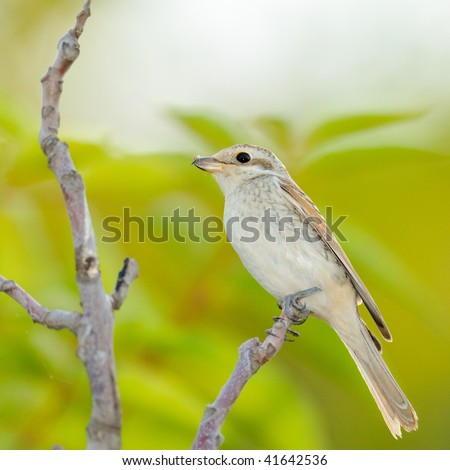 bird on branch (Miliaria Calandra)