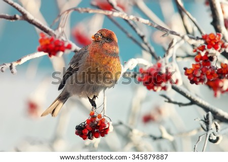 bird on branch of mountain ash covered with snow in winter