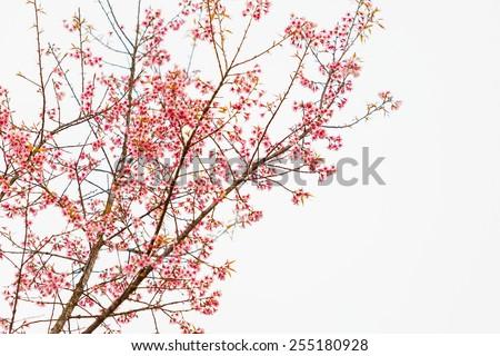 Bird on Cherry Blossom and sakura  - stock photo