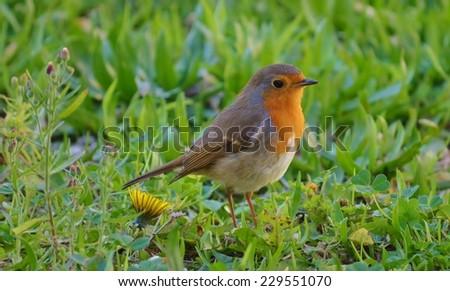 Bird on Grass, European Robin, Redbreast - stock photo