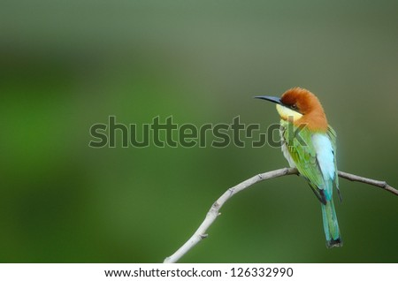 Bird on the best perch (Chestnut-headed Bee-eaters) in green background , Khaoyai National Park Thailand - stock photo
