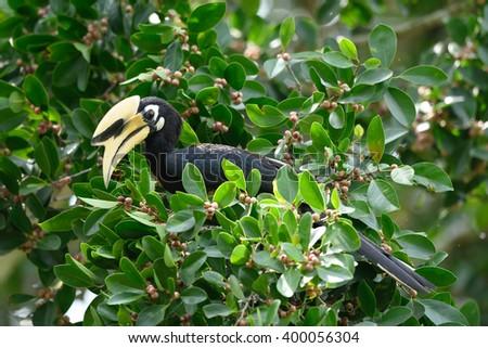 Bird (Oriental pied hornbill) , Thailand - stock photo