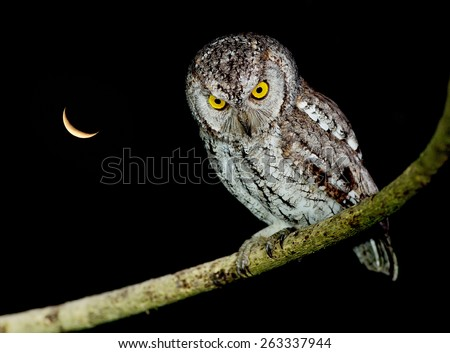 Bird (Oriental Scops Owl) , Thailand - stock photo