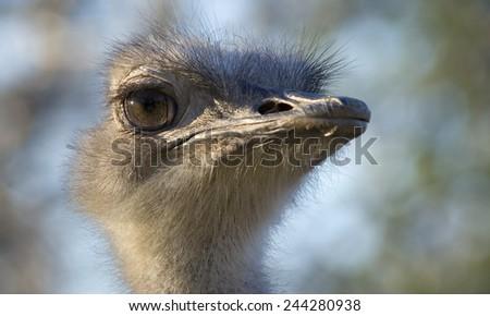 Bird Ostrich Head Closeup - stock photo