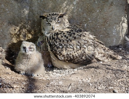 Bird owl. The Female with the chick. The owl is a large bird belonging to the order of owls. Despite its size, it flies fast enough and in flight is able to catch up with crow. - stock photo