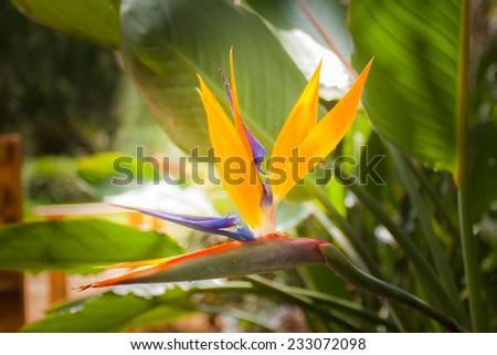 bird paradise flower in garden on day noon light. - stock photo