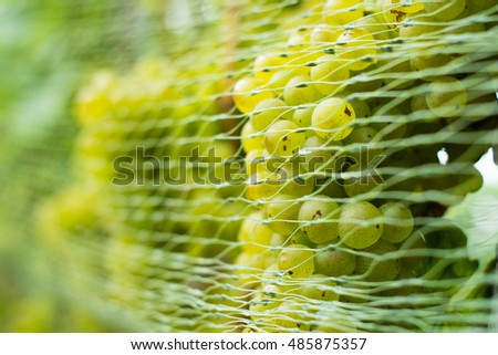 bird protection net on wine grapes at winery before harvest