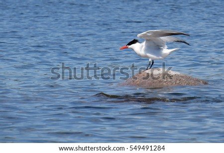 Bird ready to take flight off a rock in the water