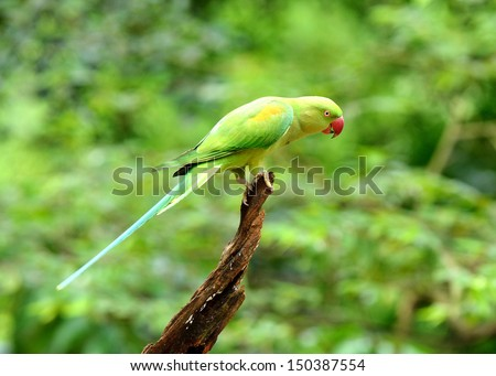 Bird (Rose-ringed Parakeet) - stock photo