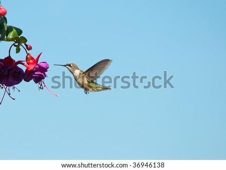 Bird.  Ruby throated humming bird, female,  in motion approaching a fuchsia flower. - stock photo