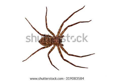 bird's eye view of spider isolated on white background - stock photo