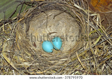 bird's nest with blue eggs